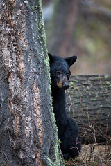 Capturing Coy (RH Miller) Tags: bear usa wildlife yellowstonenationalpark blackbear reedmiller rhmiller