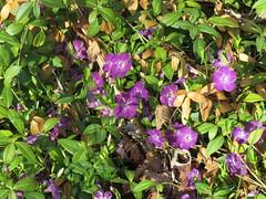 img_418-0640 (Mark Eichin) Tags: flowers concord vinca woodstreet