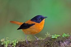 Black & Orange Flycatcher(M) (RaviBangalore) Tags: nature birds animal nikon animalplanet birdpics flycatcher naturephotography nilgiris animalphotography birdphotography naturepics nikond610 blackorangeflycatcherm