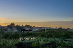 Caballos (Carlos E Corts Parra) Tags: urban horse fog sunrise landscape caballos paisaje amanecer urbano niebla