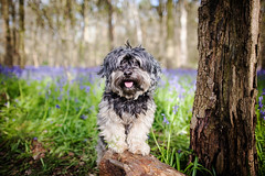4/12 - Can you see the Bluebells? (Kirstyxo) Tags: portrait dog cute bluebells woods woodlands teddy sweet