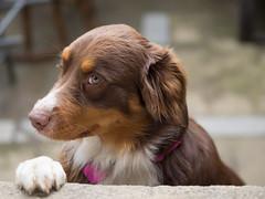 Ruby (franki2correze) Tags: dog chien shepherd australian aussie