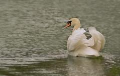 Ihre Majestt - Frau Schwan ( Cygnus olor) (rafischatz... www.rafischatz-photography.de) Tags: lake bird nature pentax waterbird muteswan k3