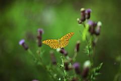 Kaisermantel (bjoern09) Tags: art nature canon butterfly insect eos mark natur free ii 5d usm insekt schmetterling kaisermantel ef70200mm f4l