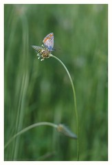 On green (s1nano) Tags: green nature butterfly insect lepidoptera nikond7000 tamronsp70300mm1456vcusd