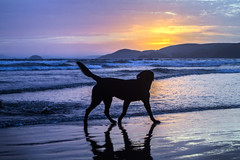 Thoughts (dolbinator1000) Tags: ocean uk blue sunset cloud dog pet sun reflection beach water animal set wales clouds reflections reflecting golden coast twilight cloudy dusk horizon hill hills reflect coastal hour pembrokeshire newgale reflects