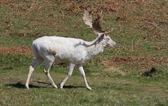Fallow Deer 200416 (16) (Richard Collier - Wildlife and Travel Photography) Tags: animal fauna wildlife naturalhistory deer british fallowdeer mammals whitefallowdeer bradgatedeerpark
