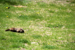 Bob, our resident woodchuck - 4/30/16 (myvreni) Tags: pets dogs animals mammal spring vermont woodchuck groundhog cairnterriers