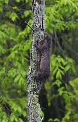 05011699211asmweb (ecwillet) Tags: nikon mink harrisburgpa susquehannariver americanmink wildwoodparkharrisburgpa ericwillet nikond800e ecwillet nikon200500f56