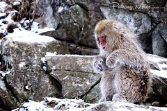 Ice Monkey (Pui Hang) Tags: japan mammal primate snowmonkey japanesemacaque omnivore macacafuscata snowphotography