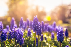 Afternoon Glow (Augmented Reality Images (Getty Contributor)) Tags: light flower macro nature sunshine canon scotland spring warm soft glow afternoon bokeh perthshire hyacinth