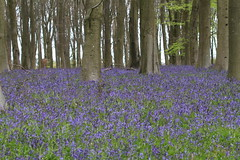 Bluebells (roger_forster) Tags: wood bluebells woodland outdoors spring hampshire winchester beech micheldever hyacinthoidesnonscripta