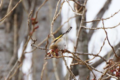 Distelfink (Huygens! aka GSatiFan) Tags: bird harbor european eating goldfinch das vgel fink rheinufer tarin grosse fringillidae knospen distelfink carduelis lgant chardonneret finkenvgel knospenfressen