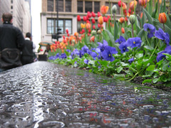In The Garden (Flint Foto Factory) Tags: city flowers urban chicago reflection texture water garden franklin droplets illinois drops spring workers downtown afternoon angle tulips loop may dew april rushhour 311 friday pm showers aftertherain wacker 2010 swacker swackerdr