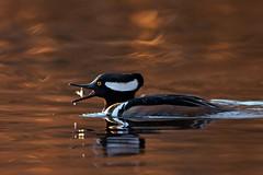 Jump into mouth (Adam Wang) Tags: sunset fish nature duck wildlife lostlagoon hoodedmerganser