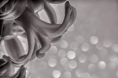 Hyazinthe (mailo mops) Tags: flower macro lensbaby bokeh sw blume makro hyazinthe frhblher