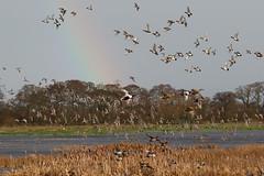 Catcott Lows ducks and rainbow (Steve Balcombe) Tags: uk bird duck inflight rainbow penelope teal somerset anas levels wigeon crecca