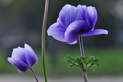 While waiting for Spring,........  Anemome !! (natureloving) Tags: flower macro nature spring nikon anemone d90 afsvrmicronikkor105mmf28gifed natureloving flowersinfrance flowersineurope fleursenfrance