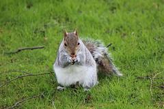 Sheffield Botanical Gardens 006 (Slimboy Fat) Tags: uk england squirrel sheffield sheffieldbotanicalgardens southyorkshire