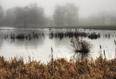 Geese landing in the fog at Avington Park (neilalderney123) Tags: water fog landscape geese olympus wildflife lakehampshire 2016neilhoward 2016neilhoward