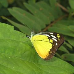 Cepora iudith - Orange Gull (Camerar) Tags: butterfly insect thailand butterflies pieridae orangegull ceporaiudith
