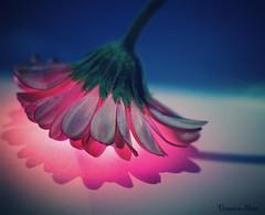 Petali luminosi (Veruuuu) Tags: pink flowers light flower square sierra squareformat iphoneography instagramapp uploaded:by=instagram