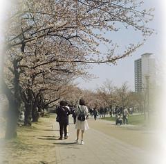 Yashica mat 124g Osaka Jo Koen April 2015 (Ced') Tags: 6x6 japan analog cherry blossom jo mat 124g  april sakura osaka koen yashica hanami 2015