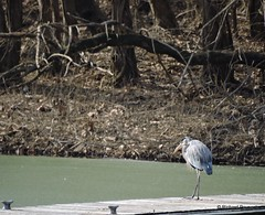 Great Blue Heron_N7645 (Henryr10) Tags: bird heron ardea kellogg greatblueheron avian ohioriver herodias ardeaherodias 4seasonsmarina