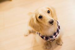 IMG_3814 (yukichinoko) Tags: dog dachshund 犬 kinako ダックスフント ダックスフンド きなこ