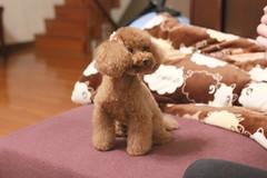 IMG_6628 (Tatsu.C) Tags: life dog holiday home 35mm canon hometown taiwan lifestyle sigma yilan 宜蘭 狗 老家 隨拍 doglife 回家 貴賓狗 s35 sigma35mm 紅貴賓 定焦鏡 canoneos550d