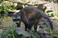 Crab-eating Raccoon (Truus & Zoo) Tags: netherlands animals zoo nederland dierentuin zooparcoverloon leastconcern crabeatingraccoon procyoncancrivorus krabbenetendewasbeer