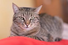 Trying to have a nap! (infinitum Photography & Video Production) Tags: gato cat chat gatto infinitum infinitumstudio nikon d750 bidule tigrato grigio tigré gris grey tabby 85mm katze shallowdepthoffield minou minet