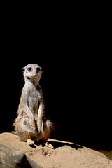 2014-07-12_Zoo_Dortmund_0012 (julian_bocholt) Tags: zoo tiere dortmund erdmnnchen