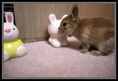 38 (mensore) Tags: brown rabbit bunny san ichigo netherlanddwarf