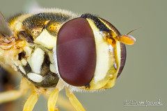 Hoverfly (Karlgoro1) Tags: macro eye field animal closeup canon bug insect eos photo eyes focus pattern stack 7d depth f28 hoverfly stacker mpe 65mm explored zerene specinsect macrolife