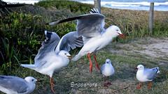 _DSC5529 (dawnbordin) Tags: sea hot bird beach birds head seagull gulls flock flight chips hungry lennox