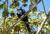 Hyacinth Macaw (helmutnc) Tags: hg sweetfreedom specanimal hennysanimals
