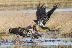 Bald Eagles (llsproat) Tags: flying eagle baldeagle january raptor fighting eagles haliaeetusleucocephalus birdofprey juveniles