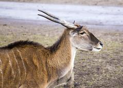 Antelope (Hans van der Boom) Tags: netherlands animal nederland antlers antelope nl safaripark beeksebergen noordbrabant hilvarenbeek hilarenbeek
