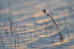 Bent by the wind. (look to see) Tags: morning light water grass licht belgium beek wind bent bree morgen 2016 bies gebogen sintmaartensheide