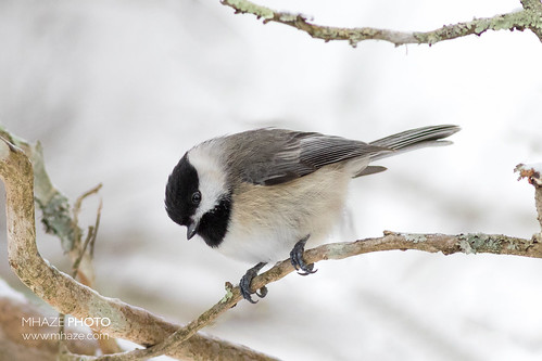 All puffed up for winter - Carolina Chickadee