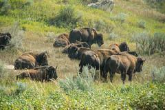 Theodore Roosevelt National Park (RuggyBearLA) Tags: us nationalpark unitedstates northdakota badlands bison medora theodoreroosevelt