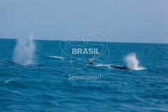 NE_Abrolhos0073 (Visit Brasil) Tags: horizontal brasil fauna natureza bahia nordeste detalhe externa abrolhos semgente diurna