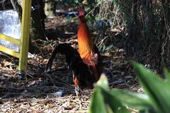 Canon201789 (godrudy6661) Tags: chickens chicken neworleans ninthward wildchicken feralchicken