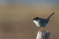 Fauvette Mlanocphale (m-idre31) Tags: bird aude gruissan fauvettemlanocphale
