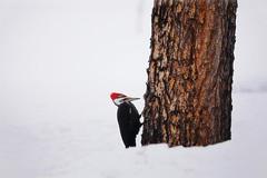 Dryocopus pileatus (niall_oleary) Tags: winter snow canada nature birds pinetree spring bark alberta trunk dryocopuspileatus fineartphotography pileatedwoodpecker rockymountainhouse picidaewoodpeckers robertamurray