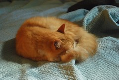 I posted a much darker version of this ~a year ago (rootcrop54) Tags: sleeping orange male sunshine furry tabby tail jimmy longhair fluffy sunny