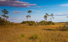 IMG_0101 ENP (JRCmoreno) Tags: trees winter grass florida bluesky swamp everglades evergladesnationalpark sabana