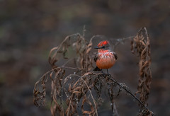 Vermilion Flycatcher (hey its k) Tags: red nature birds mexico wildlife flamingos nayarit tamron mx vermilionflycatcher flycatcher canon6d 150600mm mexico2015