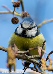 Bluetit (muppet1970) Tags: bird nature wildlife headshots bluetit alder